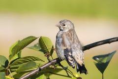 金翅雀坐一棵樱桃分支在庭院里的小的鸟 库存图片