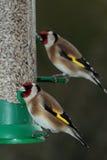 金翅雀鸟 库存图片