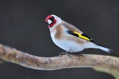 金翅雀 图库摄影