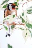 金翅雀 库存照片