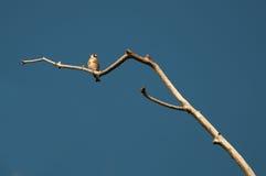 金翅雀(Carduelis carduelis)在枝杈 库存图片