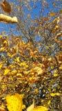 金苹果树 库存照片