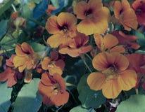 金莲花兰花宏指令留下季节颜色橙色秋天夏天瓣花卉秀丽开花植物群绽放叶子绿色花自然 免版税库存图片