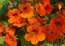 金莲花兰花宏指令留下季节颜色橙色秋天夏天瓣花卉秀丽开花植物群绽放叶子绿色花自然 库存照片