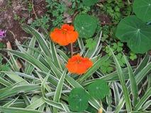 金莲花在自然生态环境 库存图片