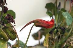 金莲花属 库存图片