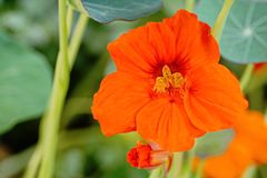 金莲花花与芽特写镜头的美好明亮秋天开花 图库摄影
