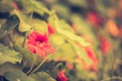 金莲花葡萄酒照片在加尔德角开花开花 免版税图库摄影