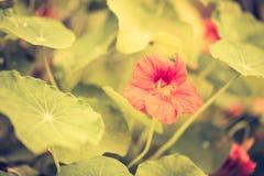 金莲花葡萄酒照片在加尔德角开花开花 库存照片