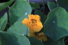 金莲花黄色花和叶子特写镜头 库存照片