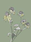 黄金菊花在绿色背景的 免版税库存图片