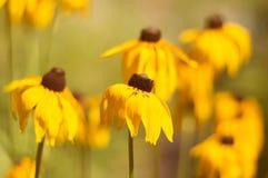黄金菊许多黄色花在庭院里 有选择性的软的焦点 免版税库存图片