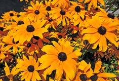 黄金菊-黑眼睛的苏珊花 图库摄影