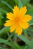 黄金菊hirta和蜘蛛 库存照片