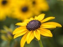 黄金菊hirta,黑注视苏珊 库存图片