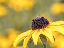 黄金菊hirta,黑注视苏珊 图库摄影