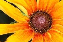 黄金菊hirta,黑眼睛的苏珊花宏指令  库存照片