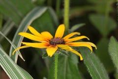 黄金菊hirta,黑眼睛的苏珊花宏指令  免版税图库摄影