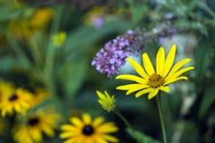黄金菊hirta,黑眼睛的苏珊 库存照片