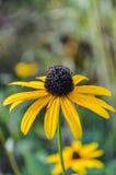 黄金菊hirta -黑眼睛的苏珊 库存照片