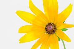 黄金菊hirta 库存照片