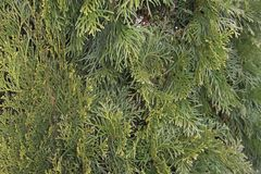 金钟柏是从家庭赛普里斯的一棵具球果植物背景装饰公园的一棵绿色树的关闭 免版税库存图片