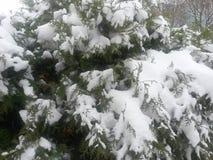 金钟柏积雪的分支  免版税库存照片
