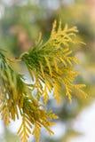 金钟柏黄绿叶子在冬天 免版税库存照片