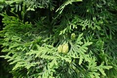 金钟柏occidentalis鳞状叶子和种子锥体  图库摄影