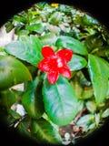 金钱树时运植物红色花 免版税库存图片