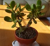 金钱植物在阳光下 库存图片