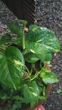 金钱植物 库存图片