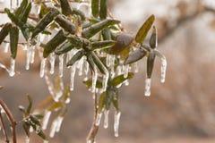 金银花在冬天,包括在冰层数  免版税库存照片