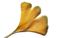 金银铜合金银杏树在白色的biloba叶子 免版税图库摄影