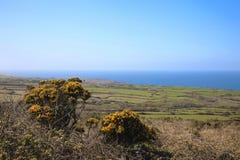 金雀花灌木和领域康沃尔郡英国 库存照片