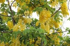 黄金雨树在泰国 图库摄影
