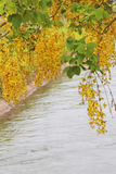 黄金雨树有运河背景 免版税库存照片