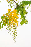 黄金雨树花 免版税库存图片