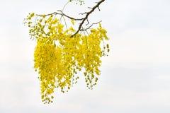 黄金雨树花 免版税库存照片