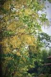 黄金雨树 图库摄影