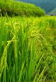 金露台的米调遣与阳光在Mu Cang柴,越南 库存图片