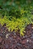 金青苔Sedum sedum de oro开花在熔岩岩石 库存图片