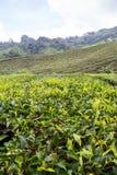 金马仑高原的茶园 免版税图库摄影