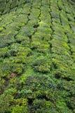 金马仑高原的茶园 库存照片