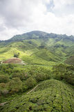 金马仑高原的茶园 免版税库存照片