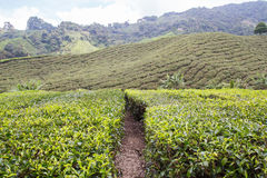 金马仑高原的茶园 库存图片