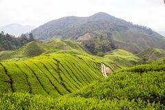 金马仑高原的茶园 免版税库存图片