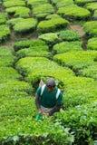 金马仑高原,大约2016年6月的彭亨马来西亚- :在茶园的男性工作者采摘茶叶 图库摄影