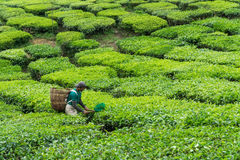 金马仑高原,大约2016年6月的彭亨马来西亚- :在茶园的男性工作者采摘茶叶 库存照片
