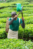 金马仑高原,大约2016年6月的彭亨马来西亚- :在茶园的男性工作者采摘茶叶 库存图片